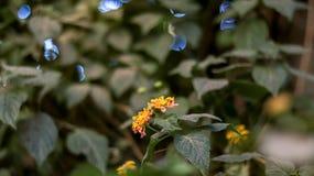 Zachodni Indiański Lantana kwiat zdjęcia royalty free