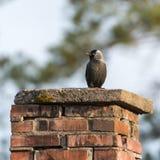 Zachodni jackdaw & x28; Corvus monedula& x29; Zdjęcia Stock