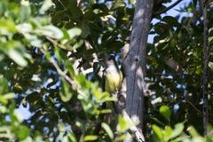 Zachodni Kingbird, Tavernier, Kluczowy Largo, Floryda zdjęcie stock