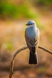 Zachodni Kingbird W świetle słonecznym Fotografia Royalty Free