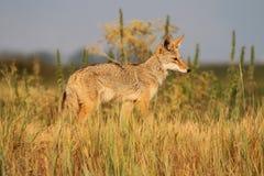 Zachodni Kojot Zdjęcie Stock