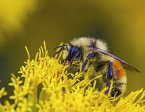 Zachodni Ogoniasty Bumblebee Bombus lapidarius Zdjęcie Royalty Free
