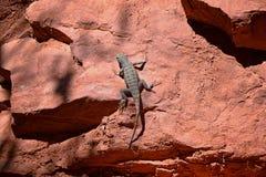 Zachodni płotowej jaszczurki Sceloporus occidentalis wią się i jaszczurki i suborder Iguania b który należy w rozkazu Squamata zdjęcia royalty free