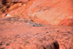 Zachodni płotowej jaszczurki Sceloporus occidentalis wią się i jaszczurki i suborder Iguania b który należy w rozkazu Squamata obraz stock