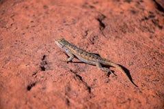 Zachodni płotowej jaszczurki Sceloporus occidentalis wią się i jaszczurki i suborder Iguania b który należy w rozkazu Squamata obraz royalty free