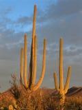 zachodni Park Narodowy saguaro Zdjęcia Royalty Free