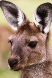 Zachodni popielaty kangur (Macropus fuliginosus) fotografia stock