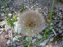 Zachodni salsify kwiatu seedhead zdjęcie stock