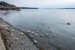 Zachodni Seattle linii brzegowej ptaki Obrazy Stock