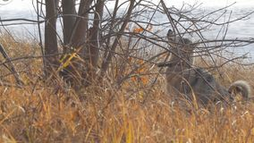 Zachodni Syberyjski Laik patrzeje w górę drzewa przy zdjęcie wideo
