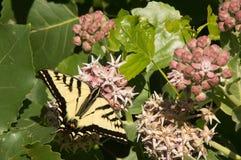 Zachodni Tygrysi Swallowtail motyl z Rozszerzonymi skrzydłami Odpoczywa Na trojeść kwiacie Zdjęcie Stock