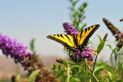 Zachodni Tygrysi Swallowtail Papilio rutulus motyl na Motylim Bush obraz royalty free