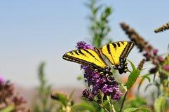 Zachodni Tygrysi Swallowtail Papilio rutulus motyl na Motylim Bush fotografia stock