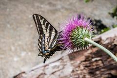 Zachodni Tygrysi Swallowtail Papilio rutulus zapyla osetu kwiatu, Yosemite park narodowy, Kalifornia obraz royalty free