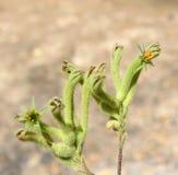 Zachodnia Australijska Wildflower zieleni kangura łapa Obraz Stock