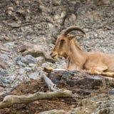Zachodnia caucasian tur kózka w naturze Fotografia Royalty Free
