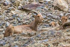 Zachodnia caucasian tur kózka w naturze Fotografia Stock