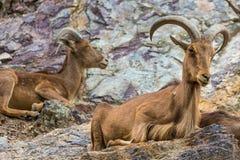 Zachodnia caucasian tur kózka w naturze Zdjęcie Royalty Free