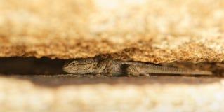 Zachodnia Płotowa jaszczurka chuje między dwa głazami Fotografia Stock