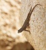 Zachodnia Płotowa jaszczurka Przyglądająca na skale out Fotografia Royalty Free