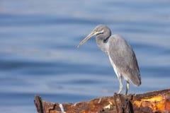 Zachodnia rafowa czapla także dzwonił zachodniego rafowego egret, jest średniej wielkości czaplą znajdującym w, południowym Europ zdjęcie royalty free