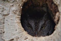 Zachodnia skrzeczenie sowa w drzewie Obraz Stock