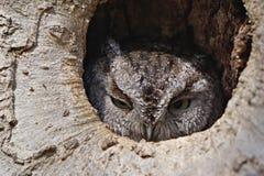 Zachodnia skrzeczenie sowa w drzewie Zdjęcia Royalty Free
