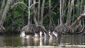Zachodnie Indiańskie gwizdanie kaczki r zdjęcie wideo