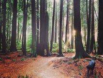 Zachodnie Wybrzeże las przy zmierzchem z psem Fotografia Stock