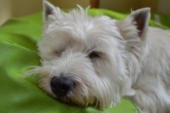 Zachodniego średniogórza Białego Terrier lying on the beach Na Jego Łóżkowym dosypianiu Westy Natura, pies, zwierzę domowe, portr obrazy stock