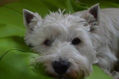 Zachodniego średniogórza Białego Terrier lying on the beach Na Jego łóżku Westy Natura, pies, zwierzę domowe, portret obrazy stock