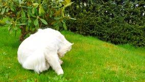 Zachodniego średniogórza Białego Terrier obsiadanie na świeżej zielonej trawie w ogródzie Pies ogląda otoczenia i jest raźny, zdjęcie wideo
