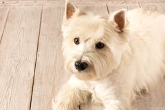 Zachodniego ?redniog?rza bia?ego Terrier lying on the beach na drewnianej pod?odze z bliska zdjęcie stock