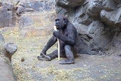 Zachodniej niziny goryl bawi? si? z kijem zdjęcie royalty free