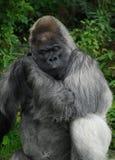 Zachodniej niziny goryl pozuje dla kamery obraz stock