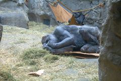 Zachodniej niziny goryl sprawdza jego dotyka obraz royalty free