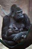 Zachodniej niziny goryl z swój two-w (goryla goryla goryl) Zdjęcie Royalty Free