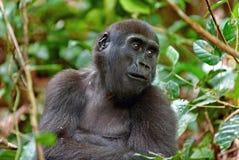 Zachodniej niziny goryla goryla goryla goryla zakończenie up przy krótką odległością Fotografia Royalty Free