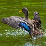 Zachowanie dzikie kaczki przy małym jeziorem obraz royalty free