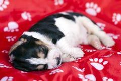 Zacht Basset de slaap van het hondenpuppy op rode achtergrond Royalty-vrije Stock Afbeelding