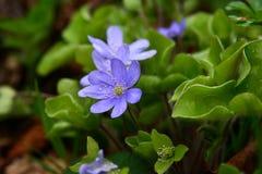 Zacht blauwe bloemen in de schaduw van struikendetail Stock Afbeelding