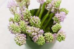 Zacht bloeit de roze mooie lente close-up Roze hyacinten Royalty-vrije Stock Fotografie