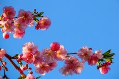 Zacht Cherry Blossom tegen blauwe hemel Stock Foto