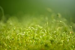 Zacht geconcentreerd die close-up van groene moszaden wordt geschoten met bokeh, vaag het glanzen licht royalty-vrije stock foto's