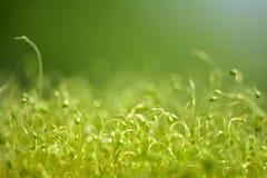 Zacht geconcentreerd die close-up van groene moszaden wordt geschoten met bokeh, vaag het glanzen licht stock foto's
