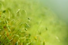 Zacht geconcentreerd die close-up van groene moszaden wordt geschoten met bokeh, vaag het glanzen licht royalty-vrije stock afbeelding