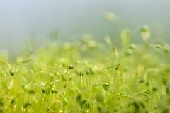 Zacht geconcentreerd die close-up van groene moszaden wordt geschoten met bokeh, vaag het glanzen licht stock foto