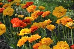 Zacht gekleurde geel-rode tulpen in het zonlicht en de schaduw Royalty-vrije Stock Foto's