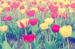 Zacht Gekleurde Tulpen royalty-vrije stock foto