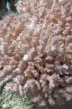Zacht koraal in het rode overzees Stock Afbeeldingen